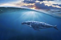 Wieloryb w połówki powietrzu zdjęcie royalty free