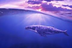 Wieloryb w połówki powietrzu Zdjęcia Royalty Free