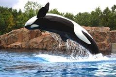 wieloryb zabójca Obrazy Stock
