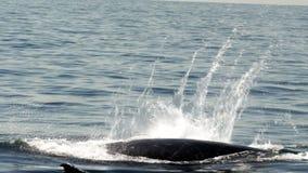 Wielorybi żebra klapnięcia zwolnione tempo zdjęcie wideo