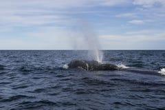 Wielorybi dopłynięcie Obrazy Royalty Free