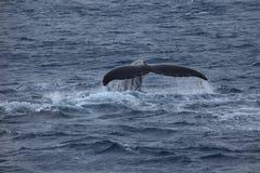 Wielorybi dopatrywania Humpback wieloryby przy Antarctica zdjęcia stock
