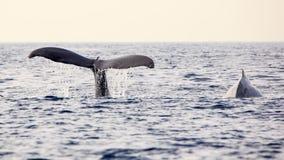 Wielorybi dopatrywanie Obraz Royalty Free