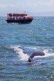 Wielorybi dopatrywanie Obrazy Royalty Free
