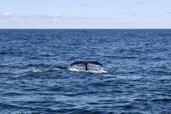 Wielorybi dopatrywanie zdjęcie royalty free