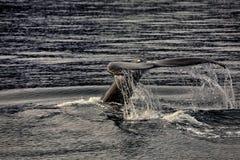 Wielorybi dopatrywanie na Iceland zdjęcie stock
