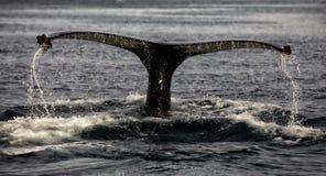 Wielorybi dopatrywanie na Iceland obraz stock