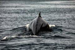 Wielorybi dopatrywanie na Iceland fotografia stock