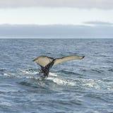 Wielorybi dopatrywanie safari z humpback wielorybami przy Iceland obrazy royalty free