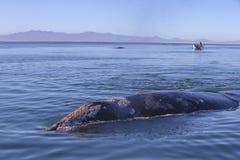 Wielorybi dopatrywanie w Baj zdjęcie stock