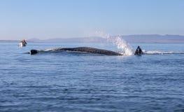 Wielorybi dopatrywanie w Baj obrazy stock