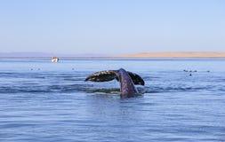 Wielorybi dopatrywanie w Baj fotografia royalty free