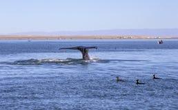 Wielorybi dopatrywanie w Baj zdjęcie royalty free