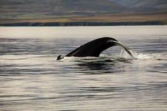 Wielorybi dopatrywanie w fjord fotografia royalty free