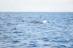 Wielorybi dopatrywanie w oceanie przy Mirissa obrazy royalty free