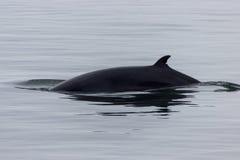 Wielorybi dopatrywanie w Tadoussac zdjęcia royalty free