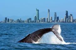 Wielorybi dopatrywanie w złota wybrzeżu Australia Fotografia Royalty Free