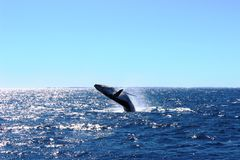 Wielorybi ogląda Australia Fraser wybrzeże Obraz Royalty Free