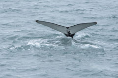 Wielorybi ogon Zdjęcia Stock