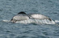 Wielorybi ogon Obrazy Stock