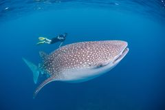 Wielorybi rekin i nurek zdjęcia royalty free