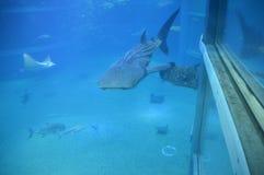 Wielorybi rekin Przy Osaka akwarium obraz royalty free