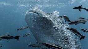 Wielorybi rekin - Rhincodon typus Obrazy Royalty Free