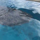 Wielorybi rekin w górę zakończenia i ogłoszenia towarzyskiego obrazy royalty free