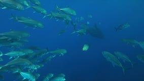 Wielorybi rekin z szkołą Trevallies w błękitne wody Obrazy Stock