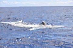 Wielorybia łydka zdjęcie royalty free