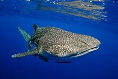 Wielorybiego rekinu podwodny obrazek Zdjęcia Royalty Free