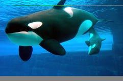 wieloryby Obrazy Stock