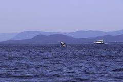 Wieloryby spoting przy orki wyspą Washington zdjęcia royalty free