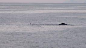 Wieloryby w Antarctica Palmer archipelag - Globalny nagrzanie - Antarktyczny półwysep - zbiory