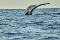 Wieloryby w oceanie spokojnym blisko Cabo San Lucas obrazy royalty free