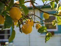 Wieloskładnikowe dojrzałe cytryny wiesza daleko drzewny przygotowywający dla żniwa Fotografia Royalty Free