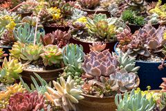 Wieloskładnikowe kaktus rośliny w garnkach fotografia stock
