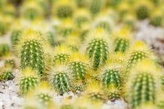 Wieloskładnikowe małe zielone kaktus rośliny z złotymi cierniami zdjęcie royalty free