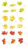 Wieloskładnikowej jesieni barwioni liście klonowi Fotografia Royalty Free