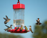Wieloskładnikowi Hummingbirds przy dozownikiem obraz royalty free