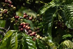 Wieloskładnikowi kolory kawowe jagody i kwiaty zdjęcie royalty free