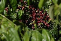 Wieloskładnikowi kolory kawowe jagody i kwiaty obrazy stock