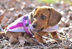 Wiener dog Stock Photography