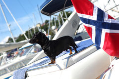 Wiener dog dachshund on the yacht Royalty Free Stock Photos