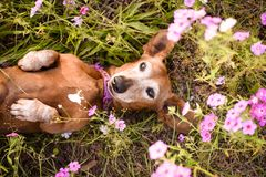 Wiener dog in a patch of purple flowers. Wiener dog looking up from a filed or patch of purple flowers royalty free stock photos