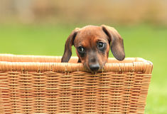 Wiener Dog Puppy royalty free stock images