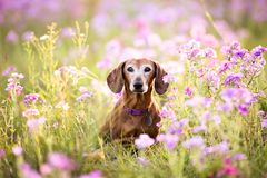 Wiener dog sitting in a patch of purple flowers. On a sunny day stock image