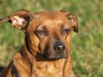 Wiener doggie Stock Image