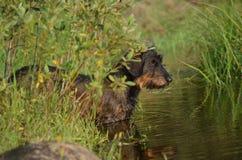Wienerdog por el agua Foto de archivo libre de regalías