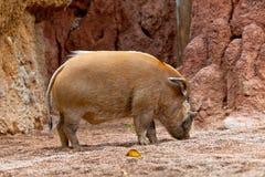 wieprza pictus porcus potamochoerus czerwona rzeka Fotografia Royalty Free